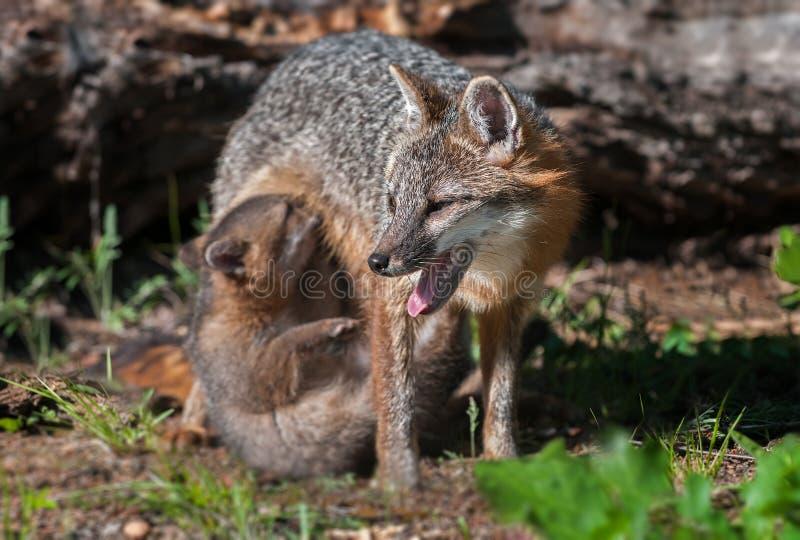 Grey Fox Vixen (cinereoargenteus d'Urocyon) avec le kit soignant photos libres de droits