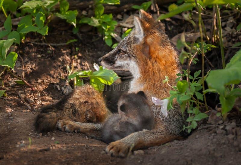 Grey Fox Vixen (cinereoargenteus d'Urocyon) regardant vigilant à gauche a photos stock