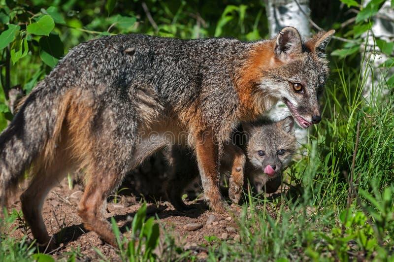 Grey Fox Vixen (cinereoargenteus do Urocyon) e Kit Beneath imagem de stock royalty free