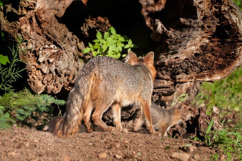 Grey Fox Vixen (Urocyon cinereoargenteus) und Kit Investigate Ho stockfoto