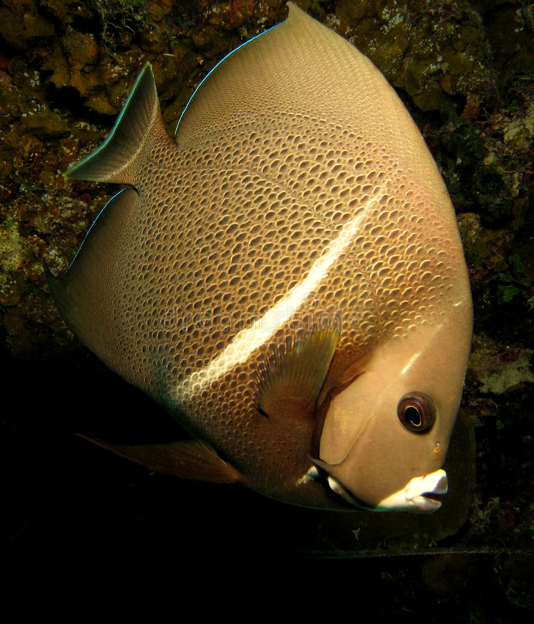 Grey French Angel Fish stock photography