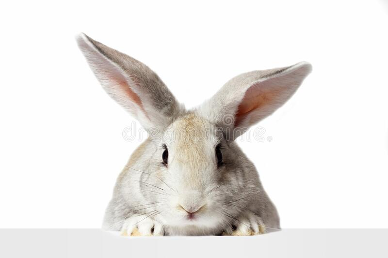 A grey furry rabbit looks at the sign. Isolated on a white background. Easter bunny . The hare looks at the sign royalty free stock photo