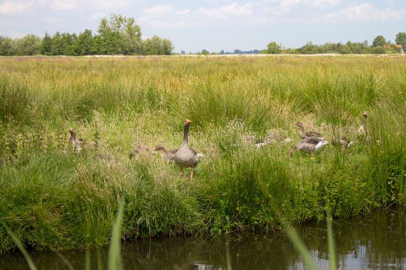 Grey geese in green grass in the field with lake. Resting geese in summer meadow. Waterfowl concept. stock photo