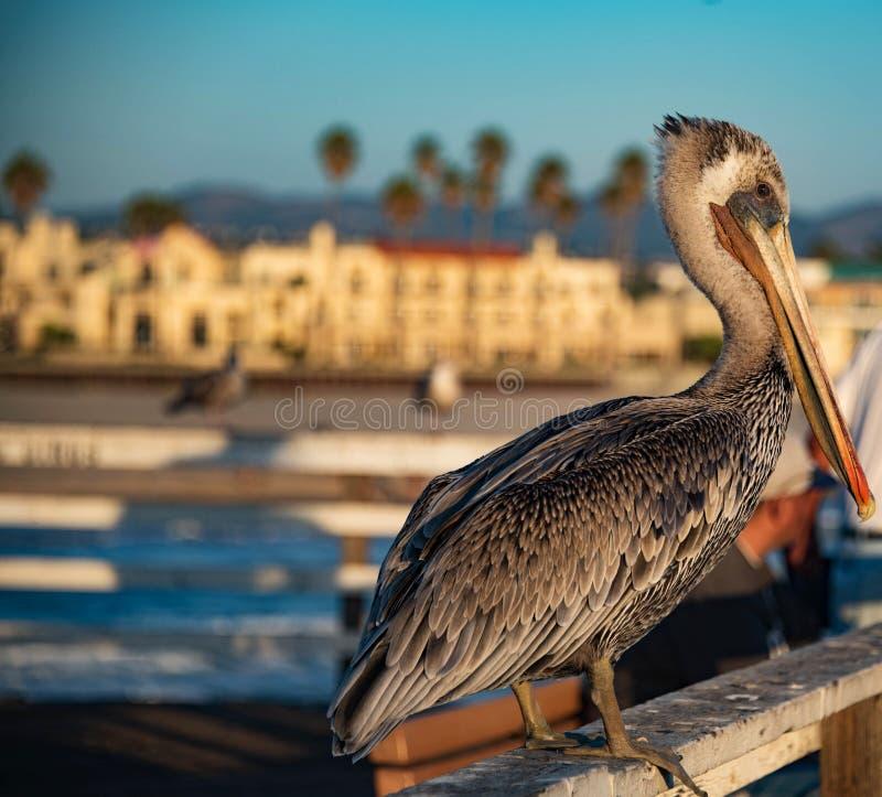 A Grey Gelican at Pismo Beach stock photo