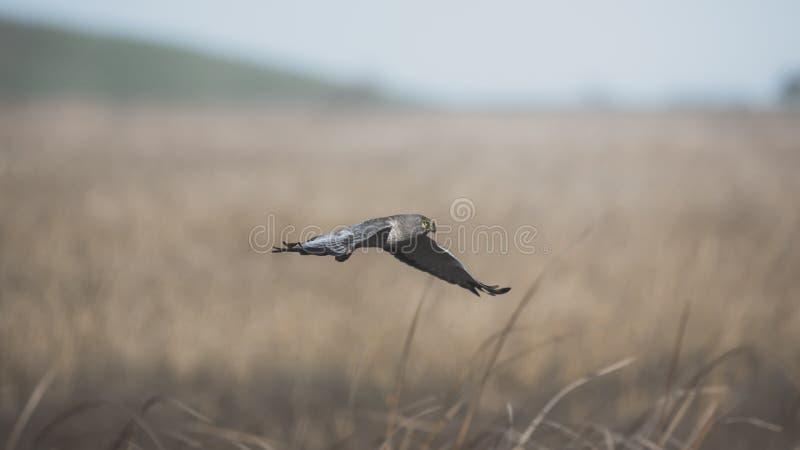 Grey Ghost Male Northern Harrier, das niedrig über hohes Gras in Kalifornien-Küstensumpfgebieten fliegt stockfoto