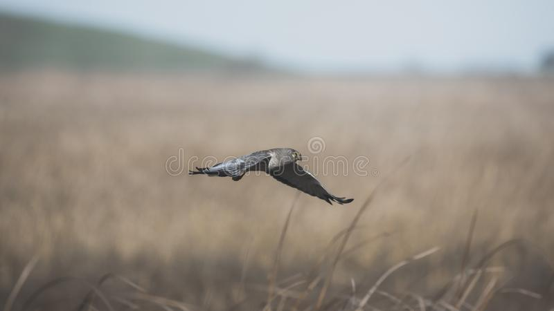 Grey Ghost Male Northern Harrier Flying Low Over Tall Grass in California Coastal Wetlands stock photo