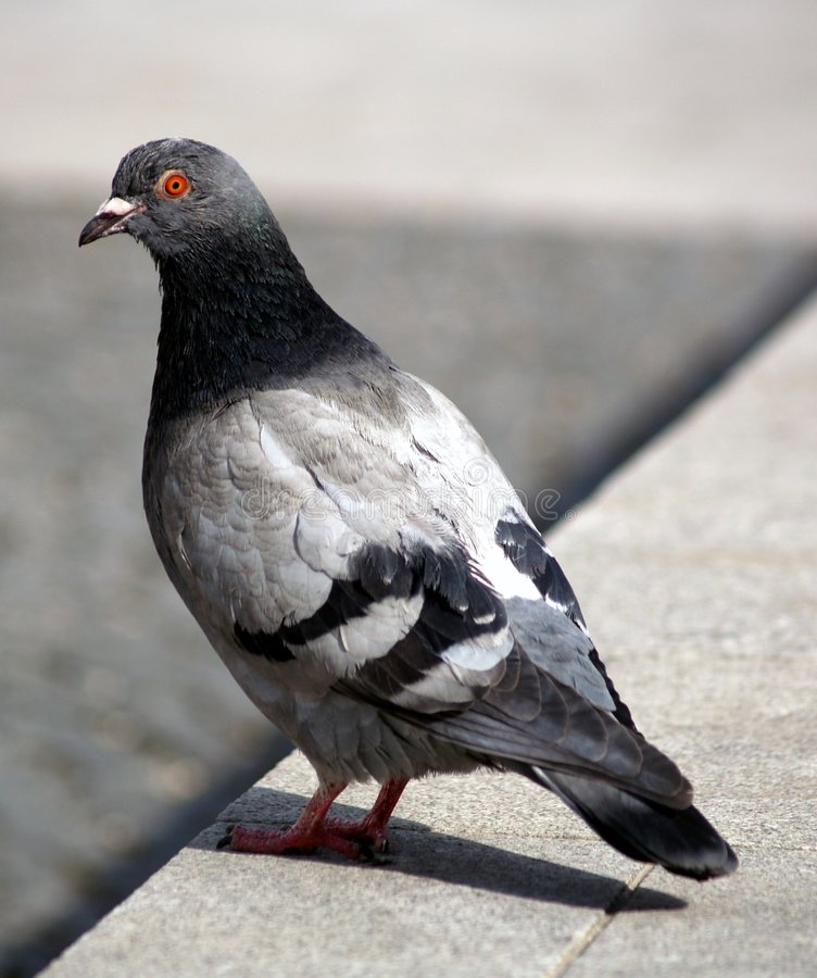 grey gołąb zdjęcia stock