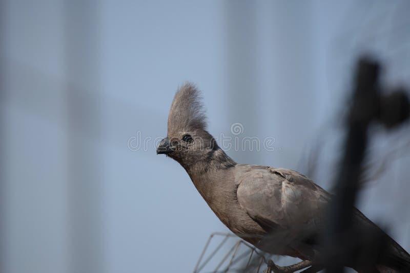 Download Grey Go-away-bird Royalty Free Stock Photos - Image: 26371178