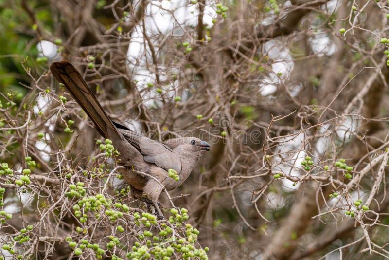 Grey go-Away-Bird & x28;Corythaixoides concolor& x29;, South Africa royalty free stock photo