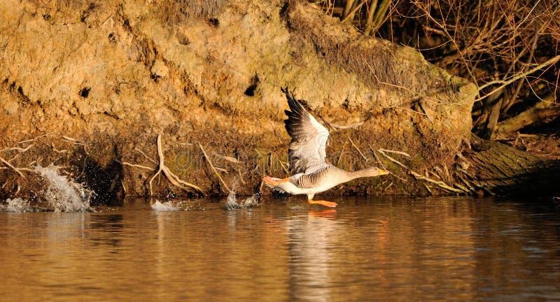 Grey Goose am Anfang lizenzfreies stockfoto