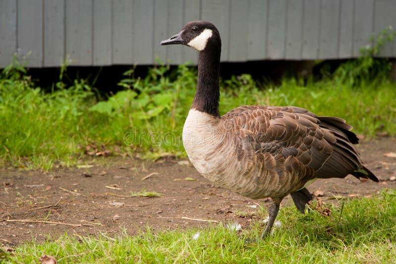 Grey goose stock image