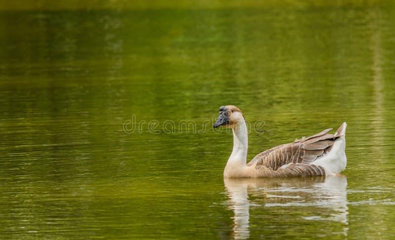 Grey Goose simning i ett stort damm royaltyfri fotografi