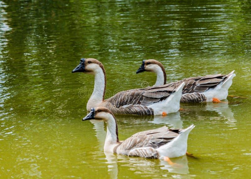 Grey Goose simning i ett stort damm fotografering för bildbyråer