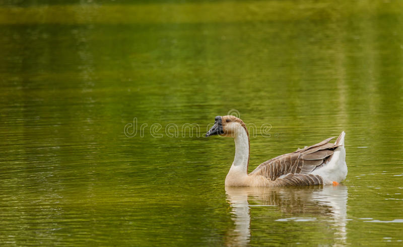 Grey Goose simning i ett stort damm royaltyfria bilder