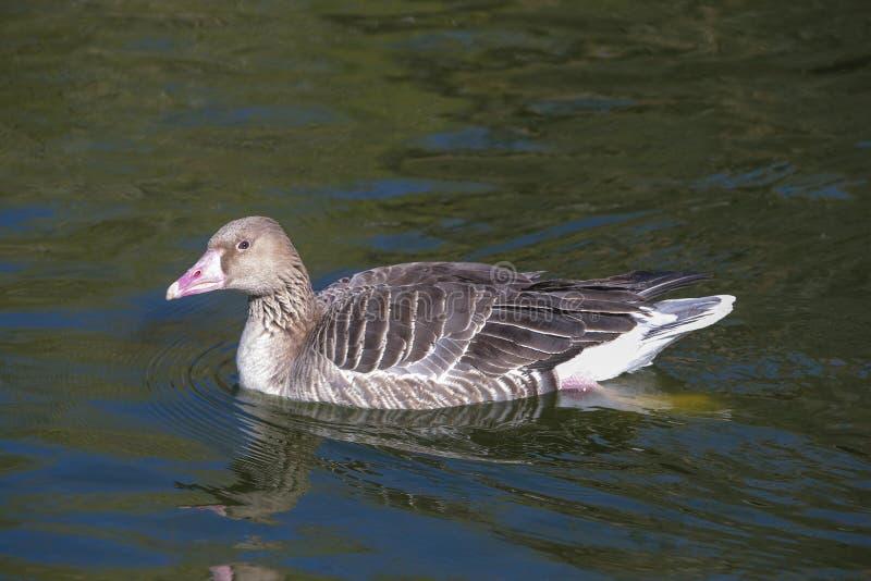 Grey Goose som svävar på vatten royaltyfria foton