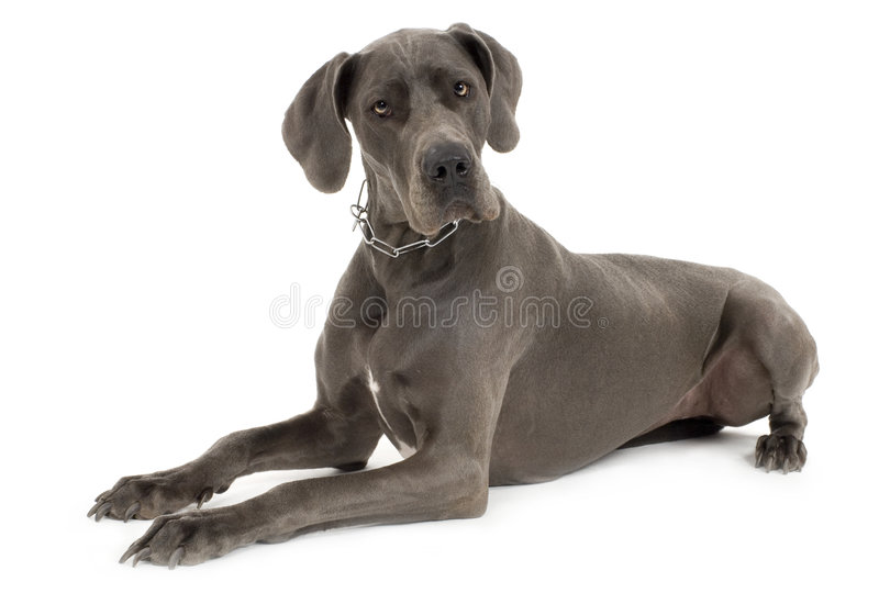 Grey Great Dane stock photography