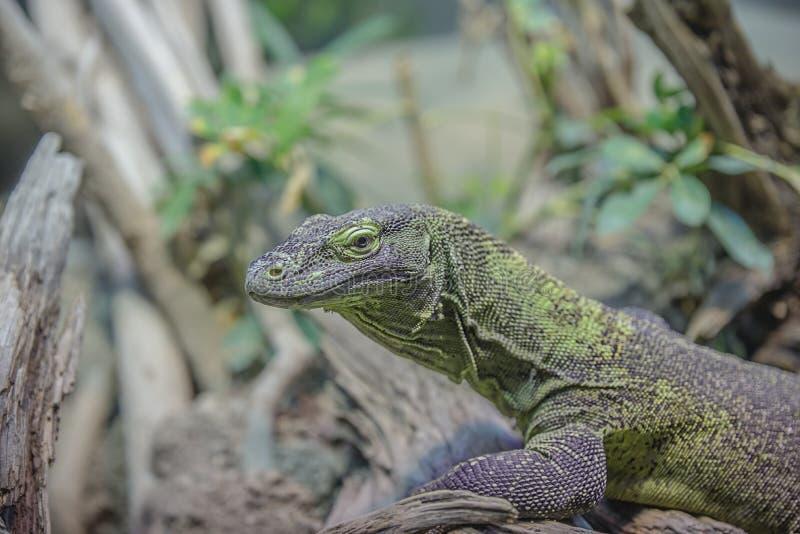 Grey And Green Iguana Free Public Domain Cc0 Image