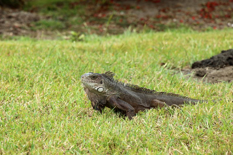 Grey green iguana in the grass in Grenada. Greu green iguana in the grass in Grenada West Indies stock photos