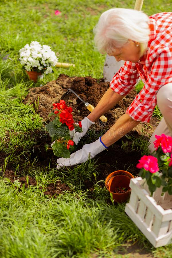 Grey-haired woman loving nature planting flowers near house royalty free stock images