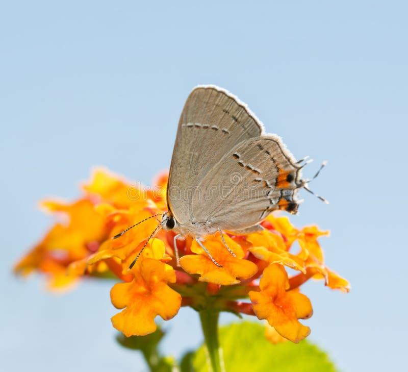 Grey Hairstreak minúsculo que alimenta em uma flor colorida do Lantana imagens de stock royalty free