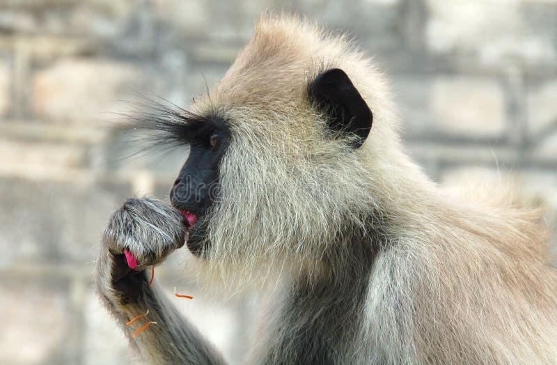 Grey Hanuman monkey in Sri Lanka. A Grey Hanuman Langur monkey, head and upper part of body, eating a pink flower stock photography