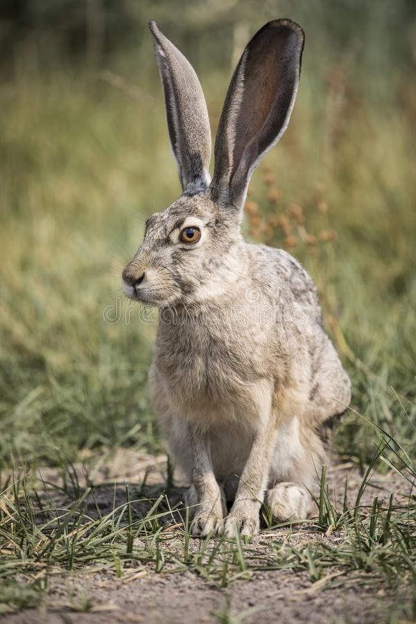 Free Grey Hare Royalty Free Stock Image - 99642426