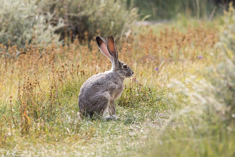 Grey Hare in Californië stock foto