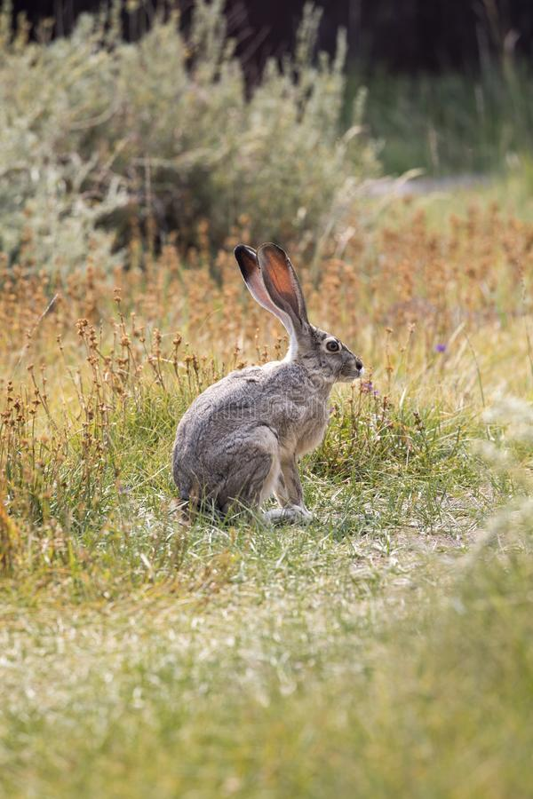 Grey Hare in Californië stock foto's