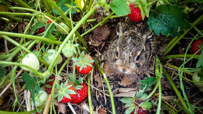 Grey hare among ripe strawberries royalty free stock image