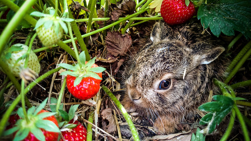 Grey hare among ripe strawberries royalty free stock photography
