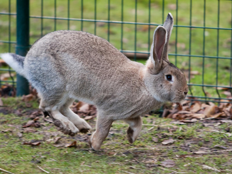 Grey Hare Running Royalty Free Stock Photos