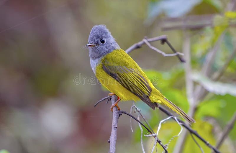 Grey Headed Canary Flycatcher imagem de stock