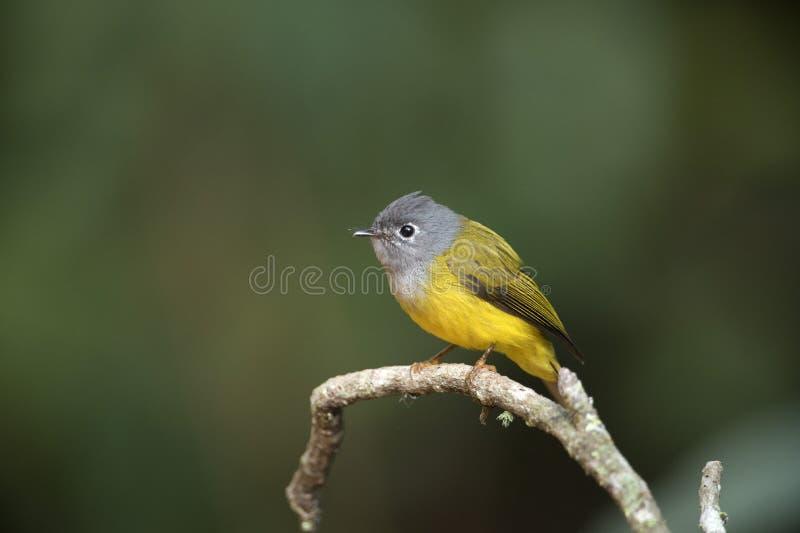Grey Headed Canary Flycatcher fotografia stock