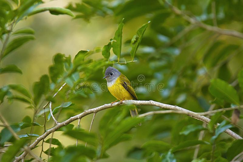 Grey-headed canary-flycatcher, Culicicapa ceylonensis, Mount Abu, Rajasthan, India royalty free stock photo