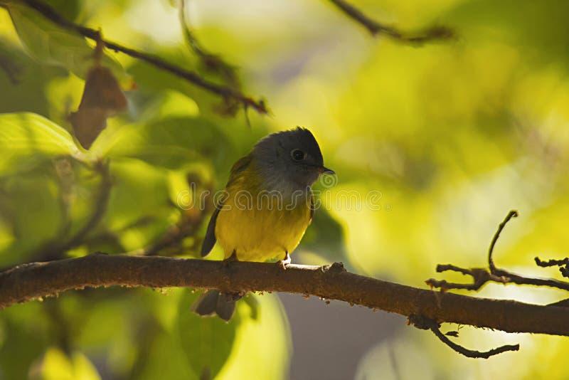 Grey Headed Canary Flycatcher, montagem Abu, Rajasthan, Índia foto de stock royalty free