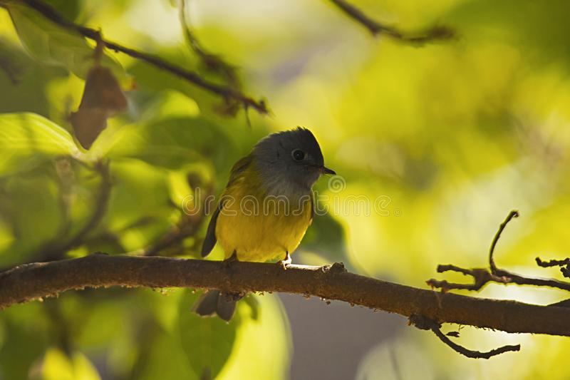 Grey Headed Canary Flycatcher, soporte Abu, Rajasthán, la India foto de archivo libre de regalías