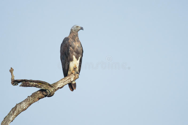 Grey headed fish eagle. Canon 6D 1/2000 f5 ISO 500 400mm Grey headed fish eagle sighted in the forests of south India. They are endangered species and protected royalty free stock photography