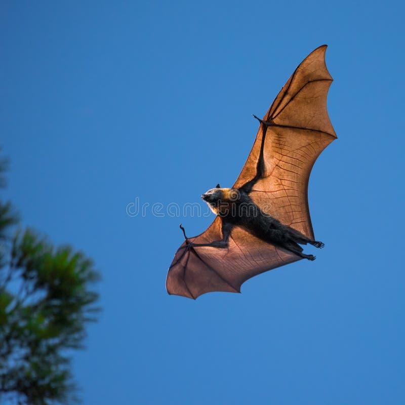 Grey Headed Flying Fox på gryning royaltyfri fotografi