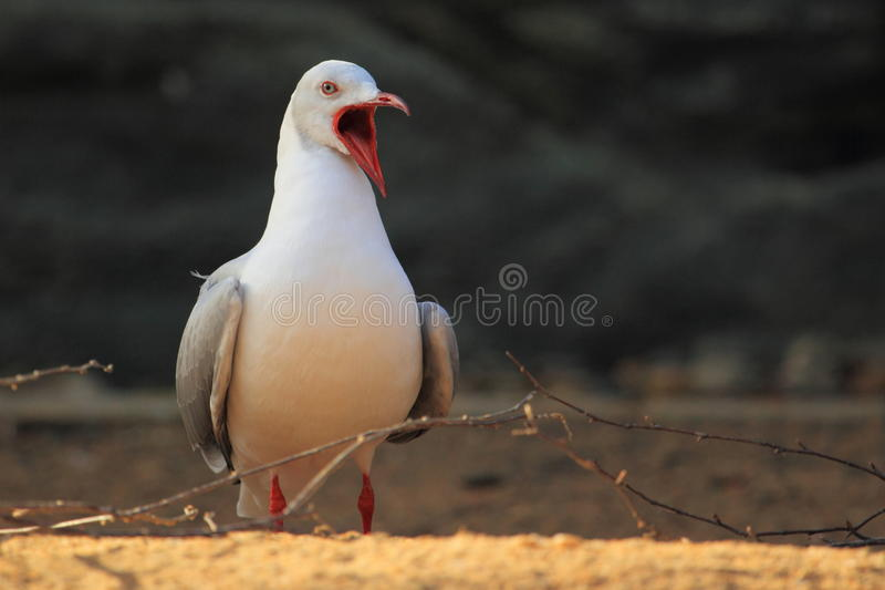 Download Grey-headed gull stock image. Image of small, gull, nature - 22957893