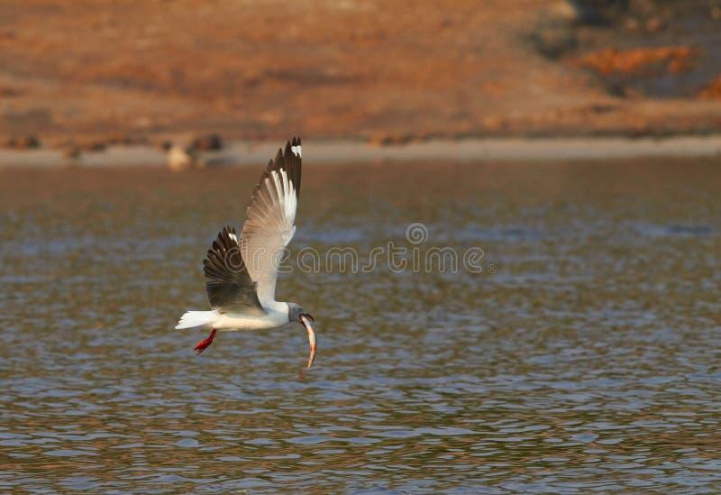 Grey Headed Gull photos stock