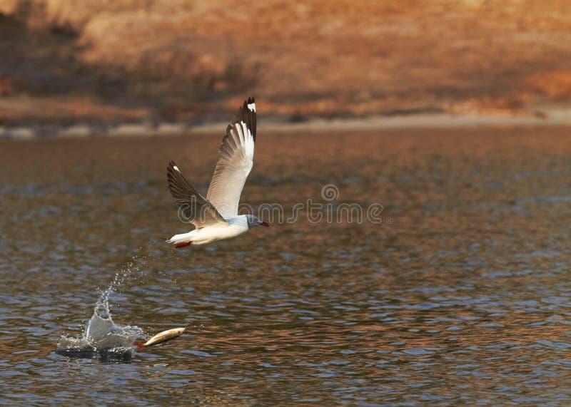Grey Headed Gull photos libres de droits