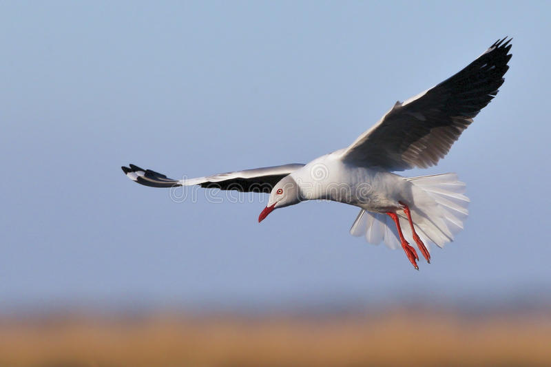 Download Grey-headed Gull hovering stock photo. Image of gull - 25316240