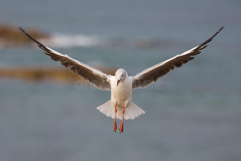 Grey Headed Seagull com as asas outstreched fotos de stock royalty free