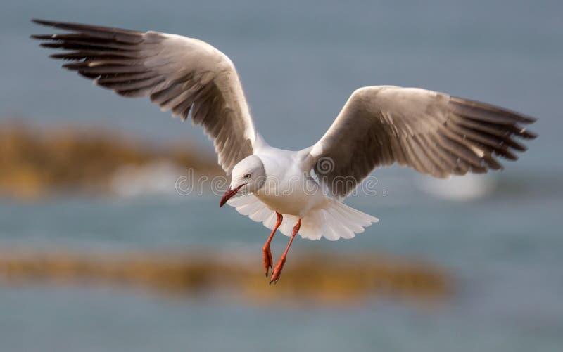 Grey Headed Seagull com as asas outstreched fotografia de stock