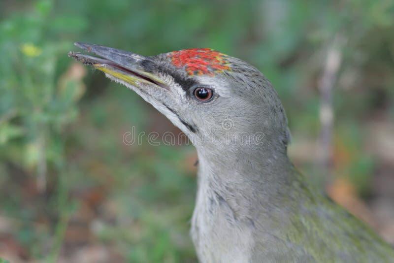 Grey-headed Specht lizenzfreies stockfoto