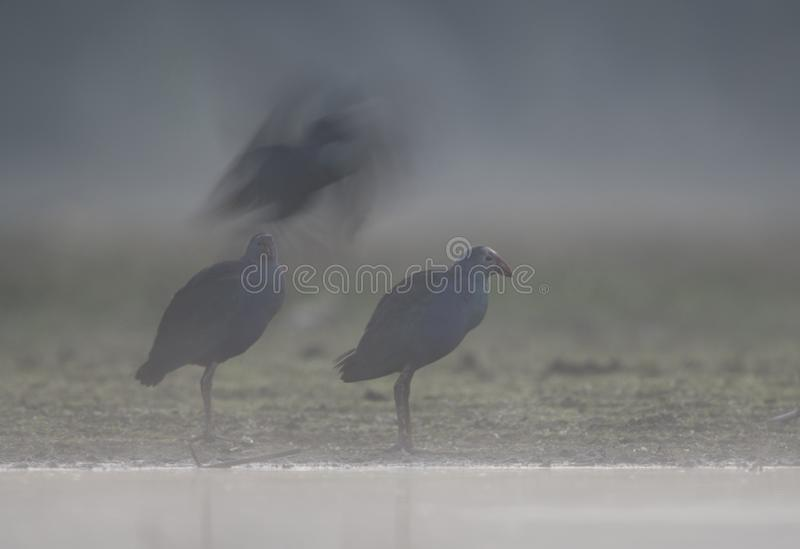 Grey headed swamphen in Misty morning royalty free stock photos