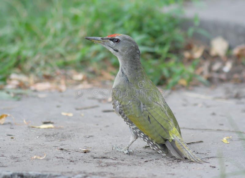 Grey-headed Woodpecker Stock Photo