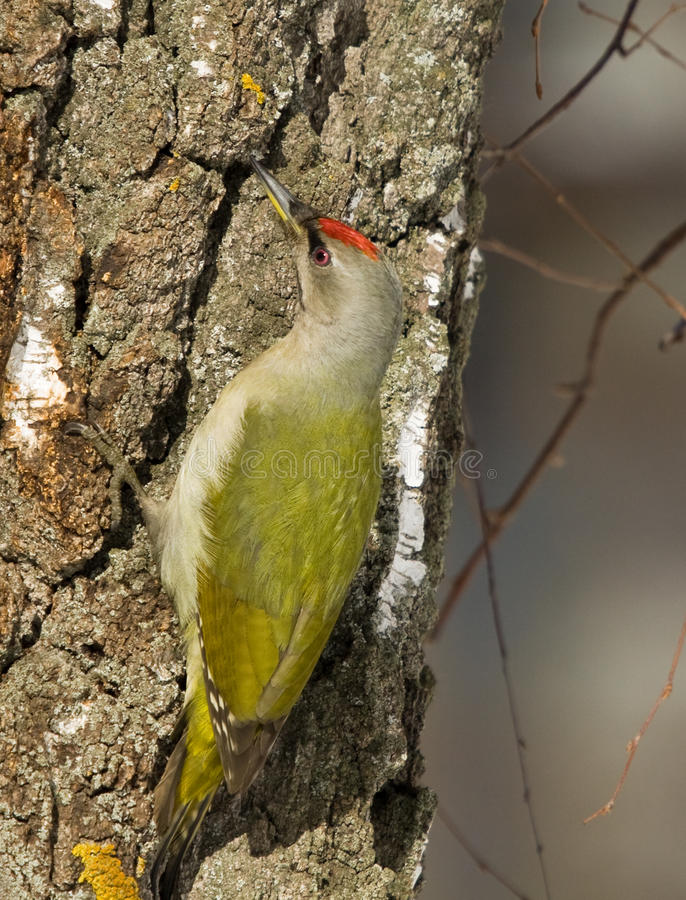 Grey-headed Woodpecker Royalty Free Stock Image