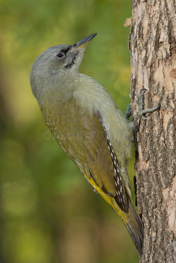Grey-headed woodpecker (Picus canus) stock images