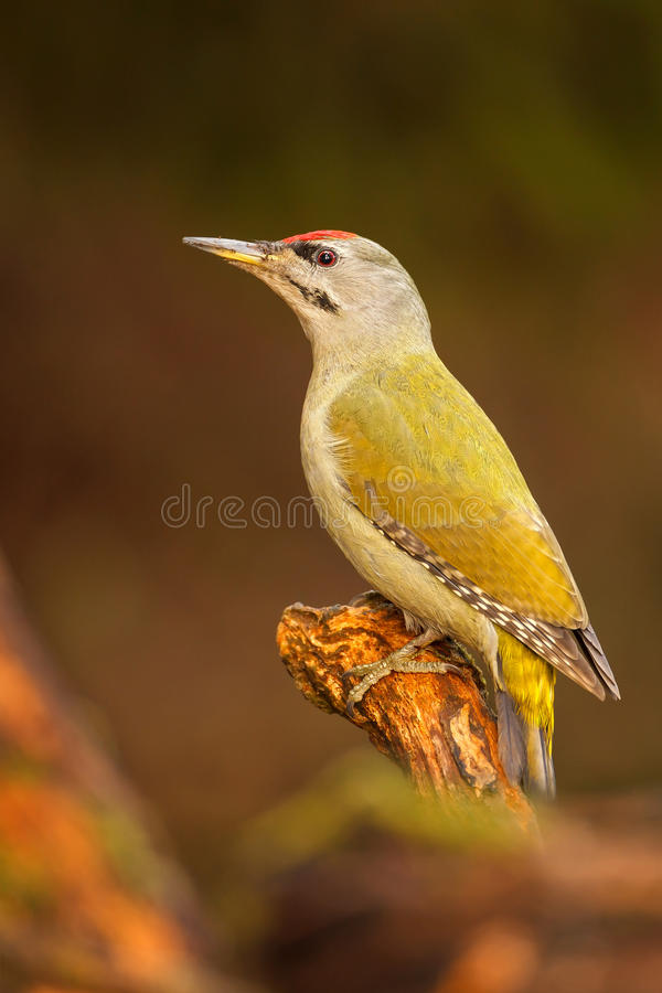 Grey-headed woopecker royalty free stock images